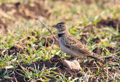 Calandra lark Stock Photo