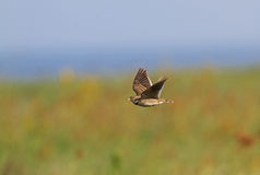 A Calandra Lark in flight Stock Photo