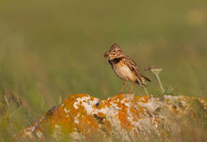 A Calandra Lark with food Royalty Free Stock Photos