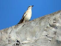 Calandria fågel över konkret yttersida Grå färgfågel royaltyfri fotografi