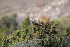Calandria - Mimus Patagonicus op punta norte stock afbeeldingen