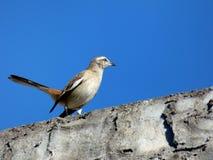 Calandriavogel over beton Stock Afbeelding