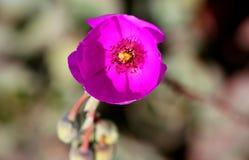 Calandrinia grandiflora, портулак утеса Стоковые Изображения RF