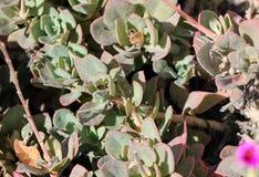 Calandrinia grandiflora, портулак утеса Стоковое Фото