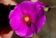 Calandrinia grandiflora, портулак утеса Стоковое Изображение