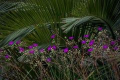 Calandrinia Grandiflora Renilla Стоковое Изображение