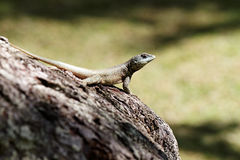 Calango - Lizard on tree Stock Image