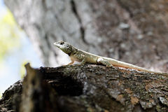 Calango - Lizard on trunk Stock Photography