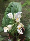 Calanthe alismaefolia Lindl Arkivbilder