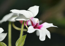 Calanthe 'Baron Schroder' Orchid Stock Images