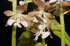 Calanthe discolor. Exotic orchid - Calanthe discolor Royalty Free Stock Images