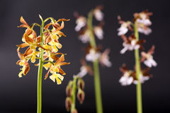 Calanthe discolor flower. Yellow calanthe discolor flowers in front of pale purple flowers Stock Photos