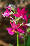 Calanthe Grouville Orchid Royalty Free Stock Images