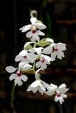 Calanthe Vestita (Phai Calanthe Krypta) orchid Stock Images