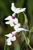 Calanthe 'William Murray' Photo stock