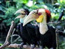Calao或缠绕的犀鸟夫妇从巴厘岛鸟停放印度尼西亚 免版税库存图片