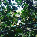 Calao photo libre de droits