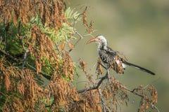 Calao affiché rouge du sud en parc national de Kruger, Afrique du Sud photographie stock