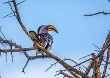 Calao jaune-affiché du sud chez le Nxai Pan Nationalpark au Botswana image libre de droits