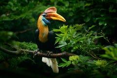 Calao Knobbed, cassidix de Rhyticeros, de Sulawesi, l'Indonésie Portrait exotique rare d'oeil de détail d'oiseau Grand oeil rouge images stock