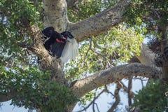 Calao moulu du sud en parc national de Kruger, Afrique du Sud photos libres de droits