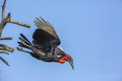 Calao moulu du sud en parc national de Kruger, Afrique du Sud image stock