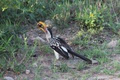 Calao Oiseau avec le scarabée Parc national de Kruger photo libre de droits