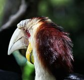 Calao ou hornbill envolvido com o olho vermelho do parque Indonésia do pássaro de Bali Fotos de Stock Royalty Free