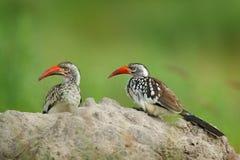 Calao Rouge-affiché du sud, leucomelas de Tockus, oiseau avec la grande facture dans l'habitat de nature avec le soleil de soirée photos stock