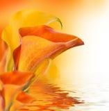 Calas brillantes de los brotes, fondo floral Fotografía de archivo libre de regalías