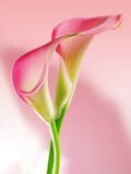 Calas rosadas Imagen de archivo