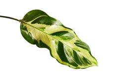 Calathea叶子,异乎寻常的热带叶子,大绿色叶子,隔绝在与裁减路线的白色背景 免版税库存图片
