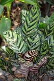 Calathea burle-marxii `Blue Ice` Royalty Free Stock Photography
