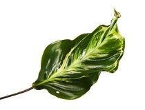 Calathea foliage The leaves are dark green above, purple below, Calathea leaf isolated on white background. With clipping path Stock Images
