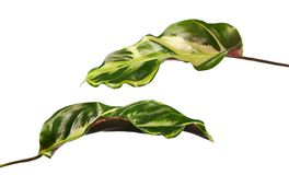 Calathea foliage The leaves are dark green above, purple below, Calathea leaf isolated on white background. With clipping path Royalty Free Stock Photo