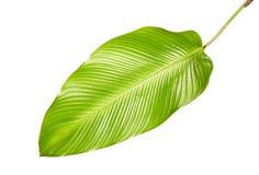 Calathea lövverk, exotiskt tropiskt blad, stort grönt blad som isoleras på vit bakgrund royaltyfria foton