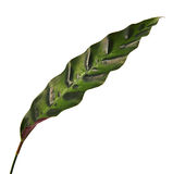 Calathea lancifolia or Calathea insignis foliage, Green leaves with dark decorative spots and underside of the leaf is deep purpl Stock Image