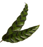 Calathea lancifolia or Calathea insignis foliage, Green leaves with dark decorative spots and underside of the leaf is deep purpl Royalty Free Stock Photography