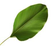 Calathea lutea叶子,雪茄Calathea,古巴雪茄,异乎寻常的热带叶子, Calathea叶子,隔绝在与夹子的白色背景 图库摄影