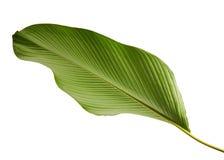 Calathea lutea叶子,雪茄Calathea,古巴雪茄,异乎寻常的热带叶子, Calathea叶子,隔绝在与夹子的白色背景 免版税图库摄影