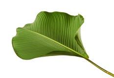 Calathea lutea叶子,雪茄Calathea,古巴雪茄,异乎寻常的热带叶子, Calathea叶子,隔绝在与夹子的白色背景 库存照片