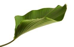 Calathea lutea叶子,雪茄Calathea,古巴雪茄,异乎寻常的热带叶子, Calathea叶子,隔绝在与夹子的白色背景 免版税库存图片