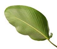 Calathea lutea叶子,雪茄Calathea,古巴雪茄,异乎寻常的热带叶子, Calathea叶子,隔绝在白色背景 库存照片