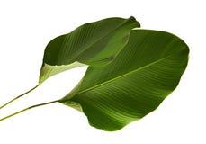Calathea lutea叶子,雪茄Calathea,古巴雪茄,异乎寻常的热带叶子, Calathea叶子,隔绝在白色背景 库存图片