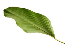 Calathea lutea foliage, Cigar Calathea, Cuban Cigar, Exotic tropical leaf, Calathea leaf, isolated on white background with clip Royalty Free Stock Photography
