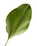 Calathea lutealövverk, cigarr Calathea, kubansk cigarr, exotiskt tropiskt blad, Calathea blad som isoleras på vit bakgrund med ge arkivfoto