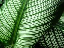 Calathea majestica albolineata für Hintergrund lizenzfreie stockfotos