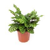 Calathea makoyana盆的植物在白色的 免版税库存照片