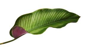 Calathea ornata细条纹Calathea在白色背景离开,被隔绝的热带叶子,与裁减路线 免版税库存照片
