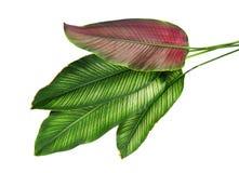Calathea ornata细条纹Calathea在白色背景离开,被隔绝的热带叶子 免版税库存图片